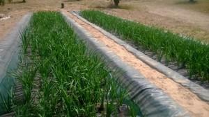 Balsas de fitodepuración. La fitodepuración es un sistema de depuración económico, sostenible y que no requiere la construcción de nuevas estructuras
