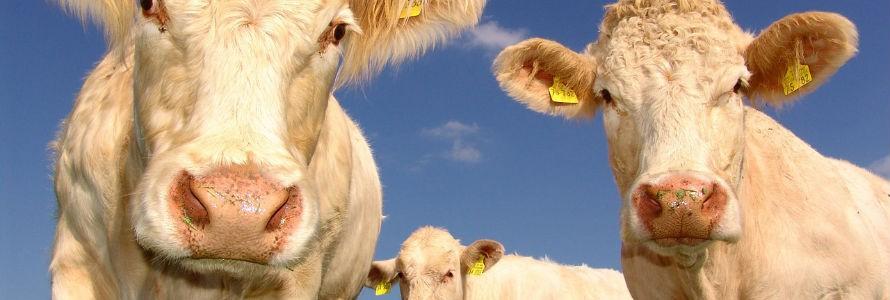 El ganado tratado con antibióticos duplica sus emisiones de metano