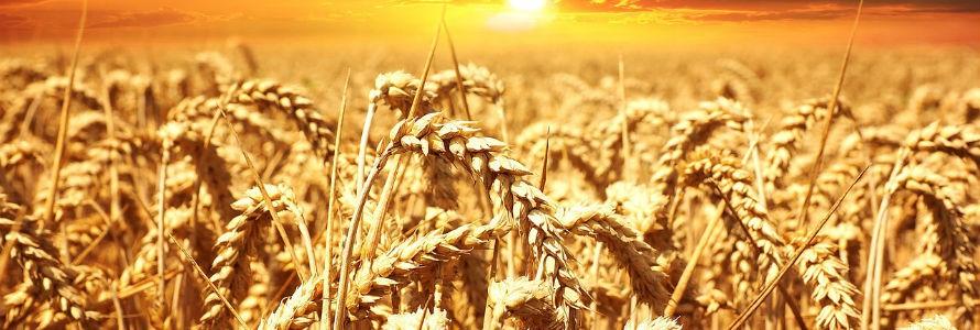 Aumentan la producción de trigo en un 25% con la adicción de biocarbón elaborado con residuos de poda de olivo