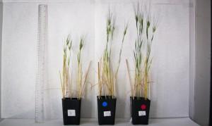 Investigación sobre biocarbón en producción trigo