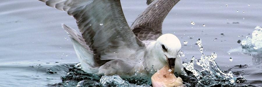 Las aves marinas comen plástico porque su olfato lo confunde con alimento