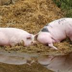 Proyecto europeo para recuperar el nitrógeno de purines