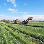 Raigrás, colza forrajera y avena como cultivos captadores de nitratos y para producir biogás