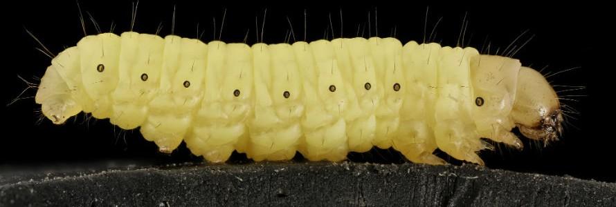Una investigadora del CSIC descubre que el gusano de la cera biodegrada el plástico