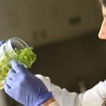 Tabaco transgénico para producir plástico biodegradable