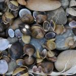 Almeja asiática invasora para purificar aguas residuales