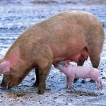 Proponen el uso de microalgas para la depuración de purines en granjas porcinas