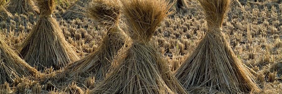 Valencia busca alternativas para el aprovechamiento de la paja de arroz