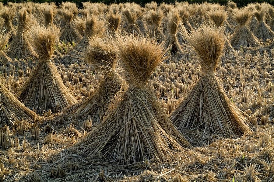 Valencia investiga alternativas para aprovechar la paja de arroz