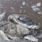 Cientos de tortugas marinas mueren cada año por los residuos