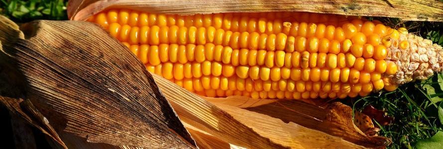 Nanocristales de celulosa a partir de residuos de maíz