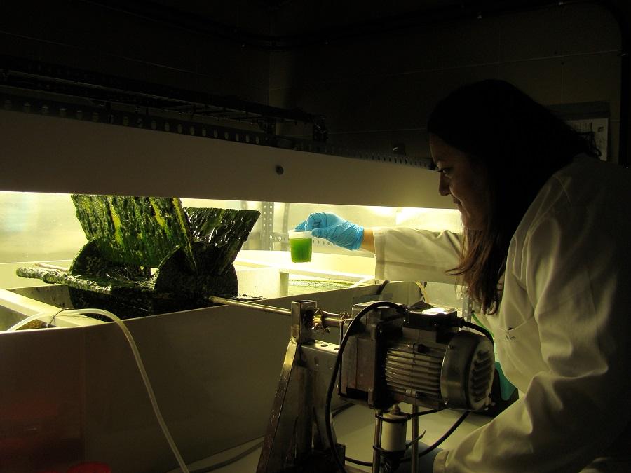 Investigan la generación de energía renovable con microalgas y bacterias