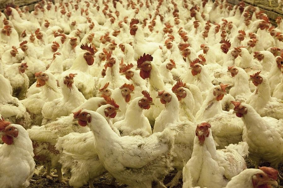 Aprovechar las plumas que genera como residuo la industria avícola