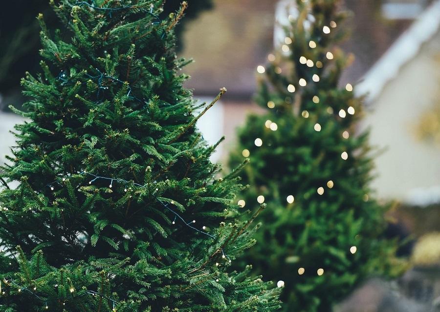 Los árboles de Navidad se pueden aprovechar para obtener productos de valor industrial