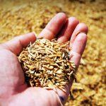 La Universidad de Córdoba obtiene un nanomaterial de uso industrial a partir de cáscara de arroz
