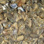 Conchas de mejillón para la depuración sostenible de aguas residuales