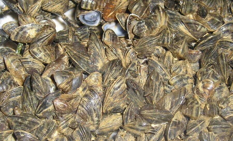 Conchas de mejillón para depurar aguas residuales