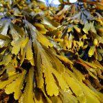 Transforman residuos de macroalgas en un material altamente energético