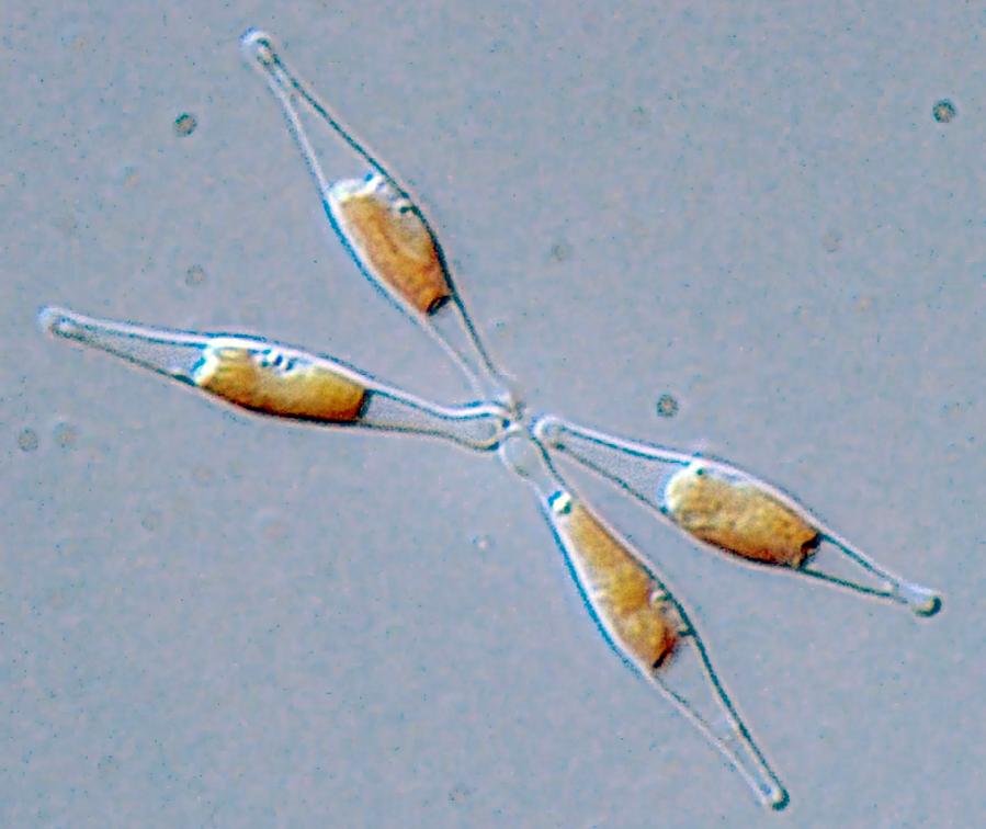 Los microplásticos y nanoplásticos alteran un alga básica de los ecosistemas marinos