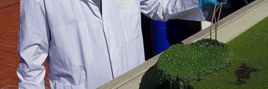 En marcha la primera planta semindustrial para recuperar nutrientes de purines porcinos con cultivos de lenteja de agua