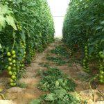Obtienen un biofertilizante a partir de residuos de cultivo de tomate y energía solar