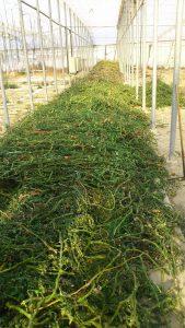 residuos de cultivo de tomate para el proceso de biosolarización