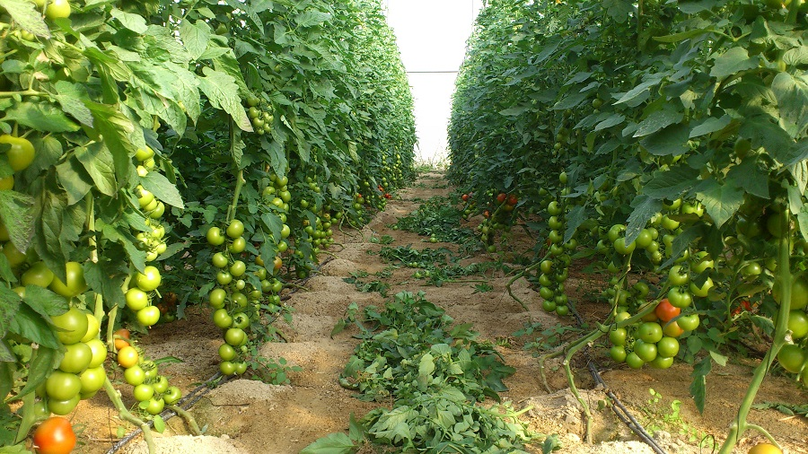 El proceso de biosolarización utiliza como biofertilizante residuos de cultivo de tomates y energía solar
