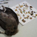 Analizan los impactos no letales de los residuos plásticos en las aves marinas