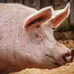 Sintetizan un nuevo catalizador para descontaminar aguas a partir del pelo de cerdo