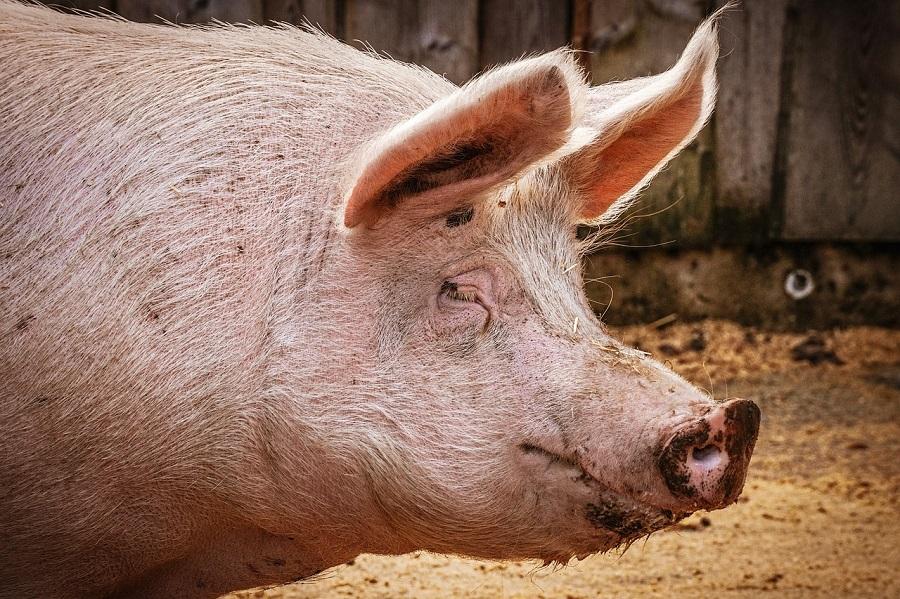 Aprovechan pelo de cerdo para limpiar aguas contaminadas