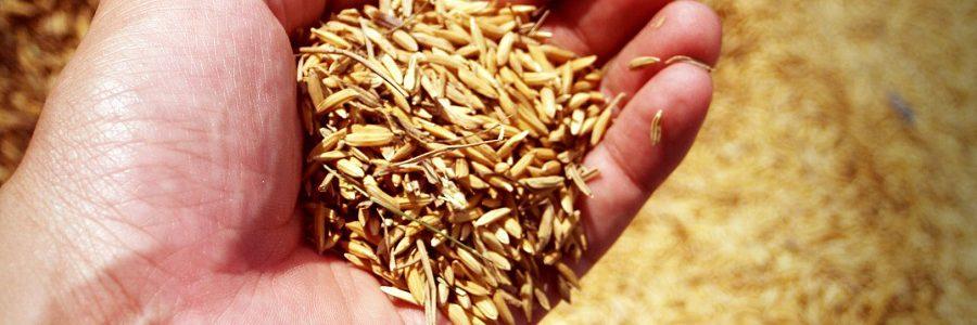 La Real Sociedad Española de Química premia un trabajo para descontaminar ciudades con residuos de cáscaras de arroz