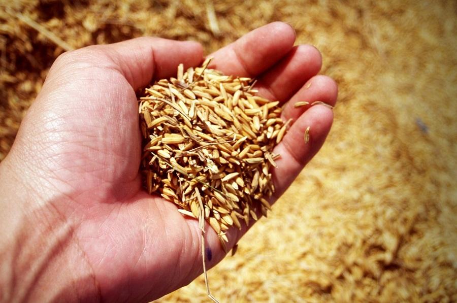 Premiada una investigación sobre el uso de cáscaras de arroz para descontaminar ciudades