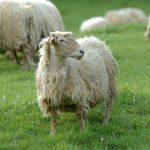 Desarrollan un aislante térmico para prendas deportivas a partir de lana de oveja latxa