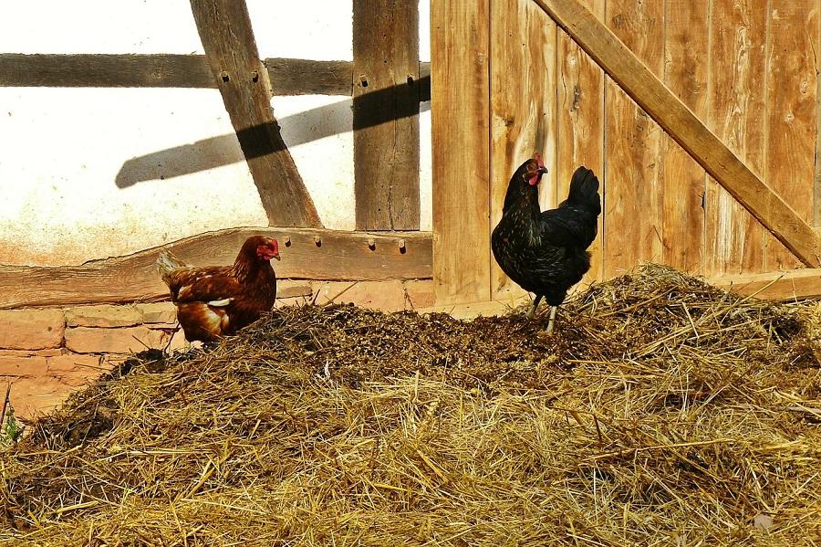 Obtienen compost de calidad combinando gallinaza y residuos agrícolas