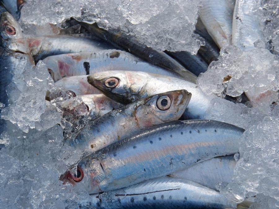 sardinas y anchoas del Mediterráneo tienen microplásticos en sus intestinos
