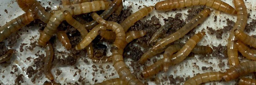 Gusanos, moscas y lombrices que convierten residuos plásticos en fertilizante