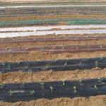 El IMIDA reduce a seis meses el periodo de biodegradación de los residuos plásticos de acolchados agrícolas