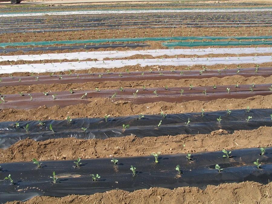 Cultivo con plásticos acolchados empleado por el equipo de horticultura del IMIDA para los ensayos de reducción de la biodegradación
