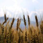 Desarrollan nuevas espumas de poliuretano biodegradables a partir de paja de trigo