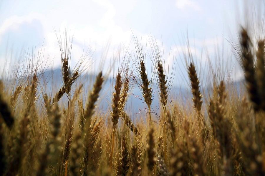 Proponen usar paja de trigo para obtener espumas de poliuretano