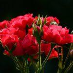 Investigan el potencial de los tallos de rosas para producir biocombustibles