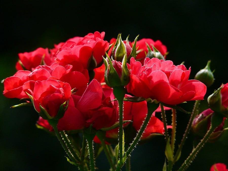 Los tallos de rosas tienen un alto potencial para producir biocombustibles