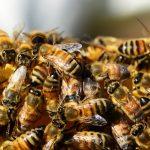 Detectan por primera vez microplásticos en el cuerpo de las abejas