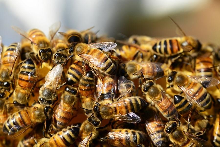 Detectan microplásticos adheridos al cuerpo de las abejas