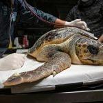 Las tortugas marinas, centinelas y víctimas de la contaminación plástica