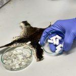 Científicos del NTU Singapur convierten residuos de acuicultura en un biomaterial para reparar tejidos humanos