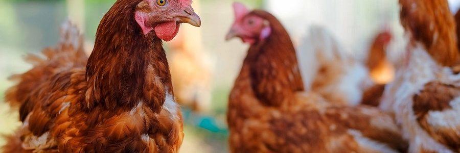 EL proyeco UNLOCK desarrollará procesos de valorización de plumas del sector avícola para obtener nuevos bioproductos