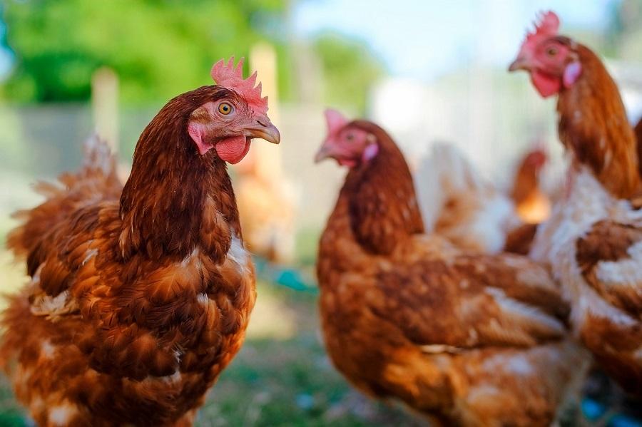 Proyecto para la valorización de plumas del sector avícola