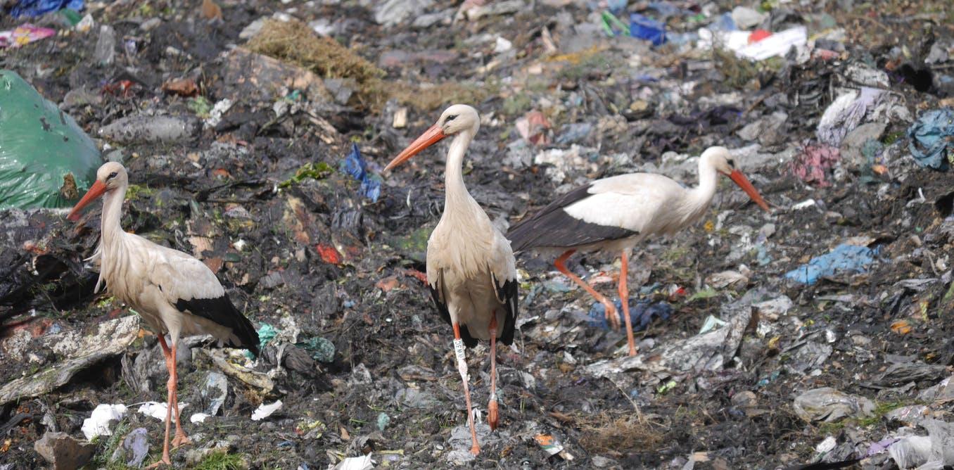 Los vertederos son una fuente importante de alimentos para muchas aves