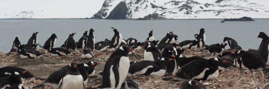 Hasta los pingüinos del Antártico comen microplásticos